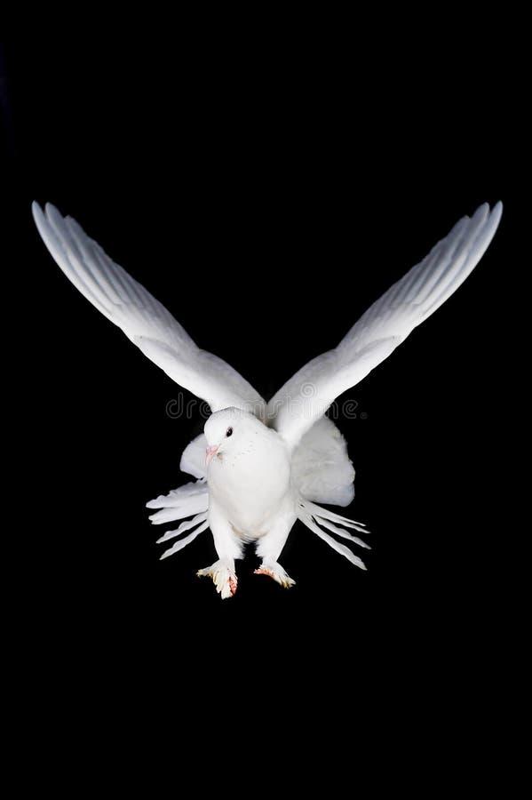 现有量鸽子白色 免版税图库摄影