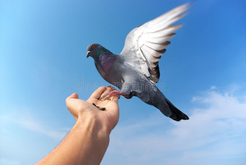现有量鸽子 免版税库存照片
