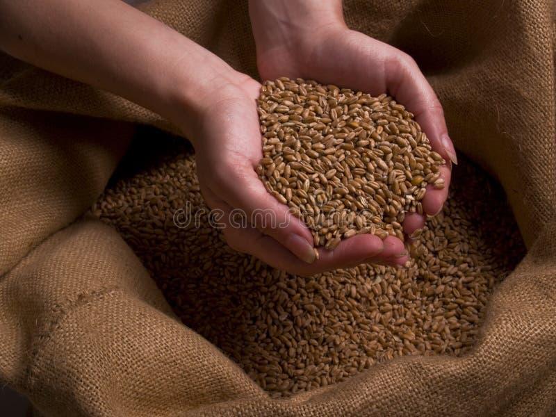 现有量麦子 库存照片