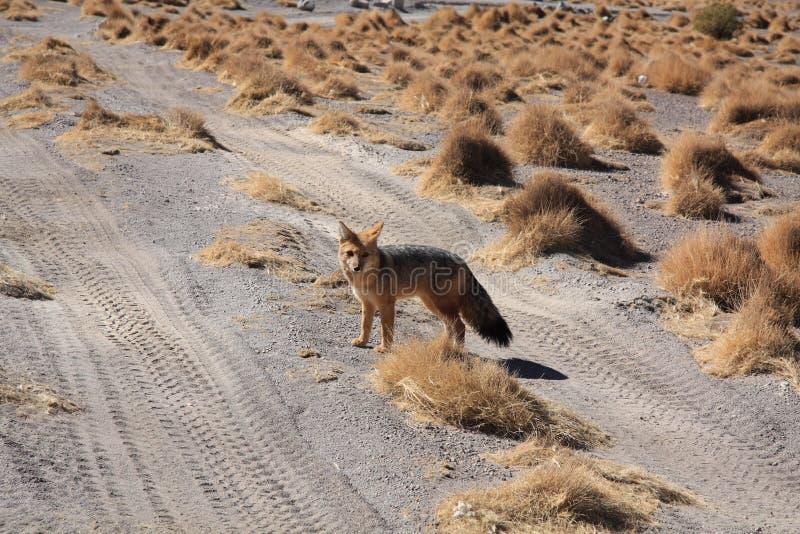 玻利维亚狐狸 免版税库存照片