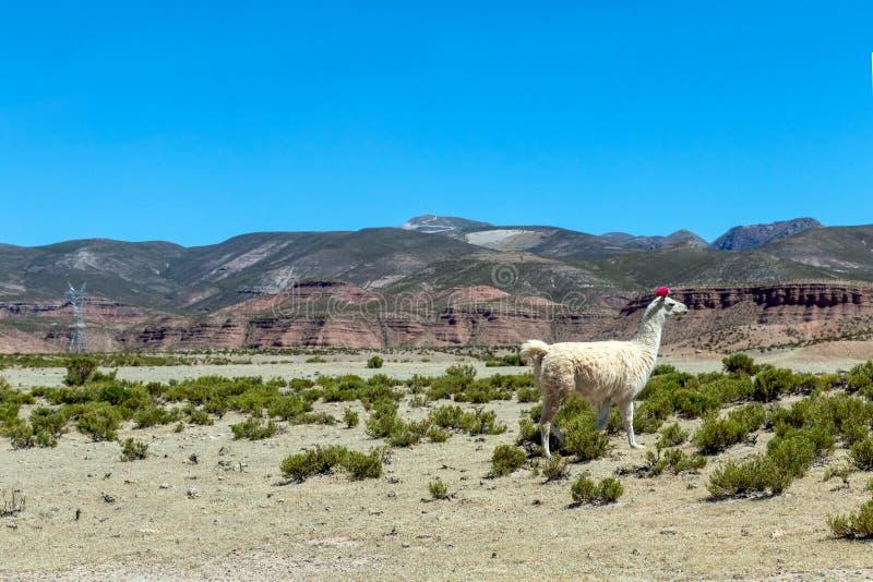 玻利维亚的沙漠被弄脏的风景在与天空蔚蓝爱德华多Avaroa公园,玻利维亚的好日子 库存图片