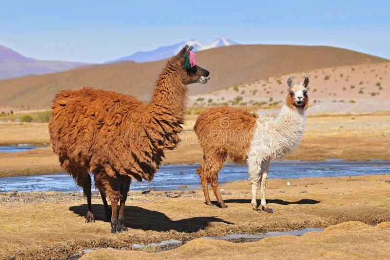 玻利维亚骆马,与她的男性Cria的母骆马 库存图片