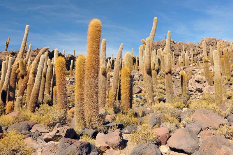 玻利维亚,印加瓦西峰海岛,乌尤尼盐沼的中心,仙人掌 免版税图库摄影