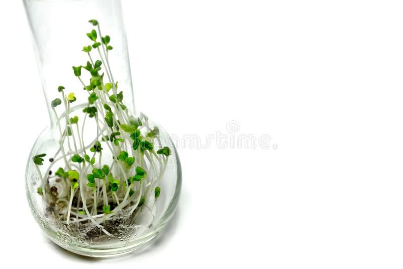 玻璃烧瓶用硬花甘蓝新芽 库存照片
