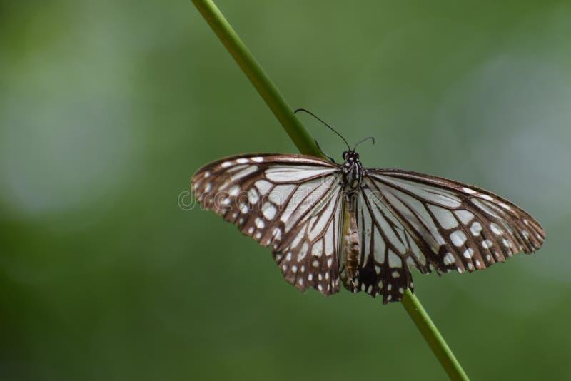 玻璃状老虎蝴蝶&#x28的美妙的图片;parantica aglea)蝴蝶 免版税库存图片