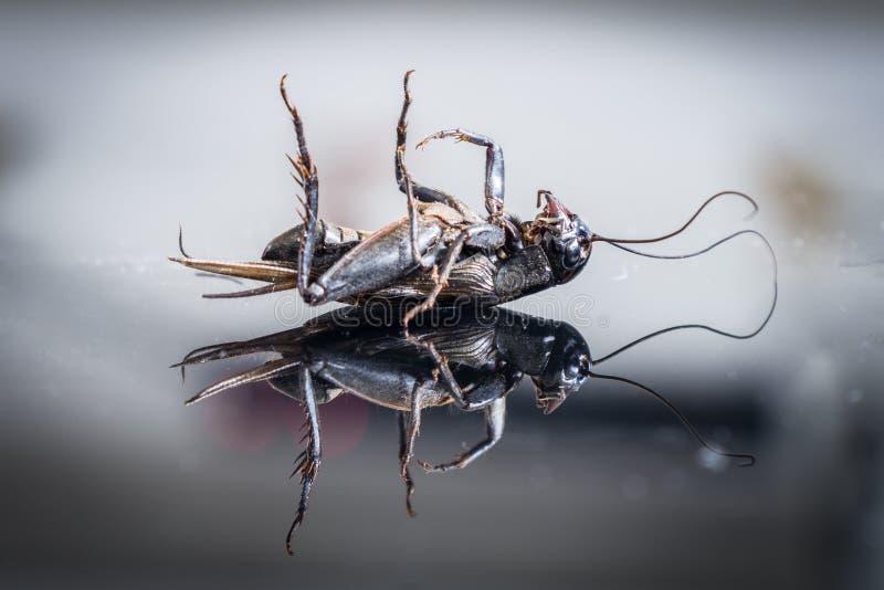 玻璃表面上的死的蟋蟀 图库摄影