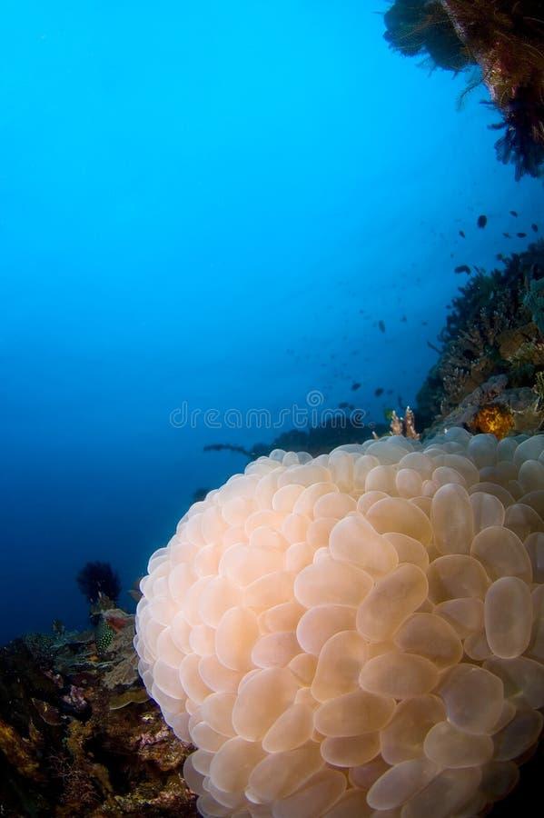 珊瑚印度尼西亚reefscape软的sulawesi 库存图片
