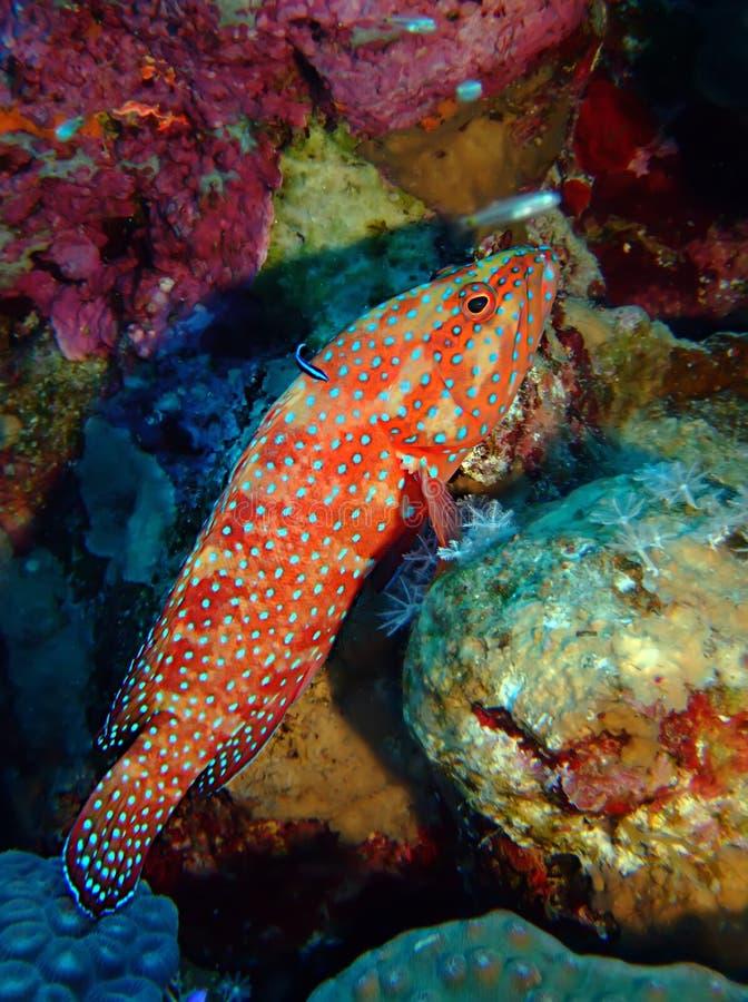 珊瑚后面石斑鱼 免版税库存照片