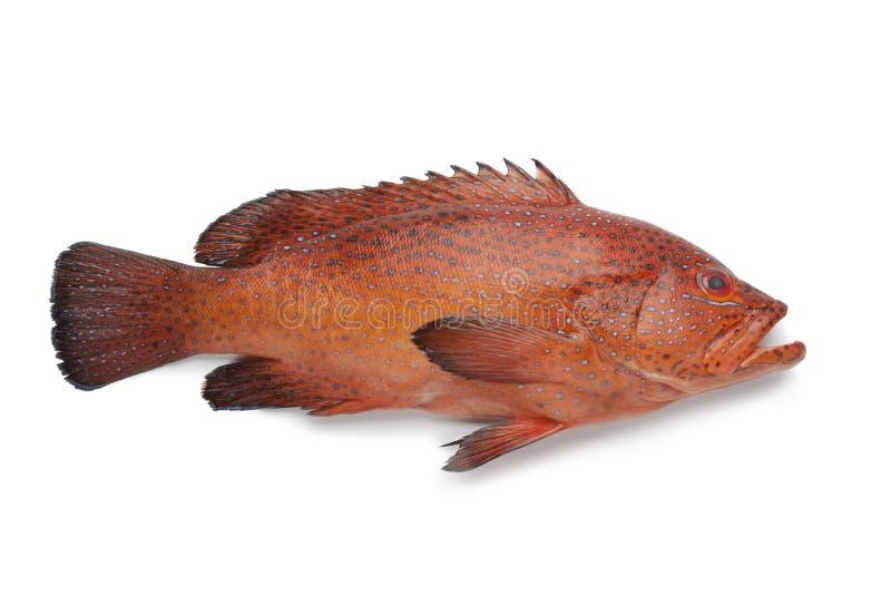 珊瑚后面鱼 免版税库存照片