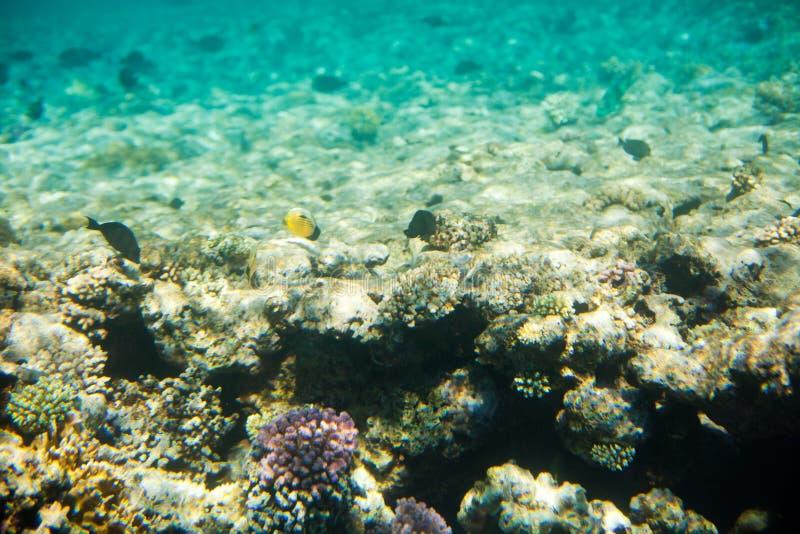 珊瑚和鱼在红海 库存图片