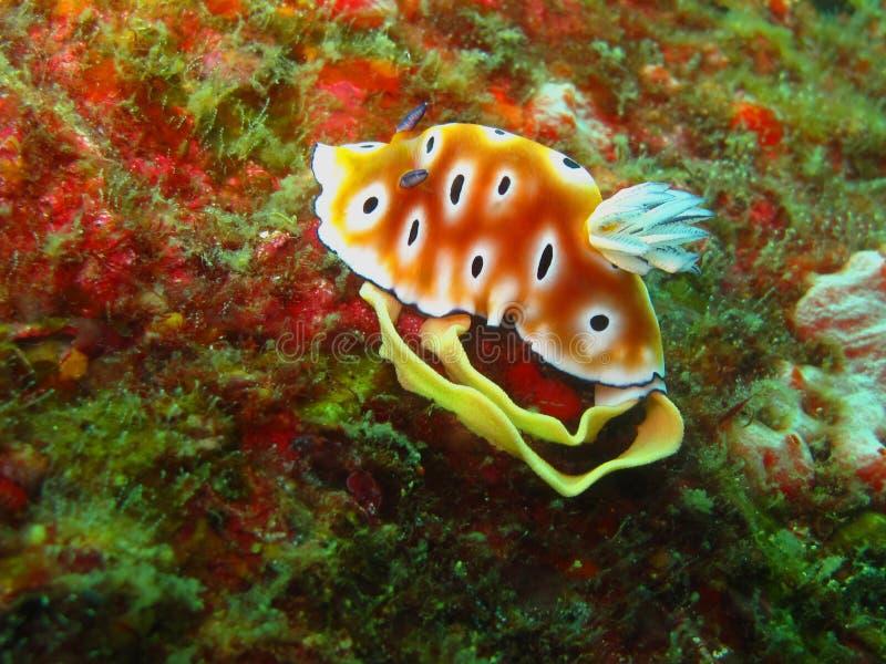 珊瑚困难nudibranch产生 免版税库存图片