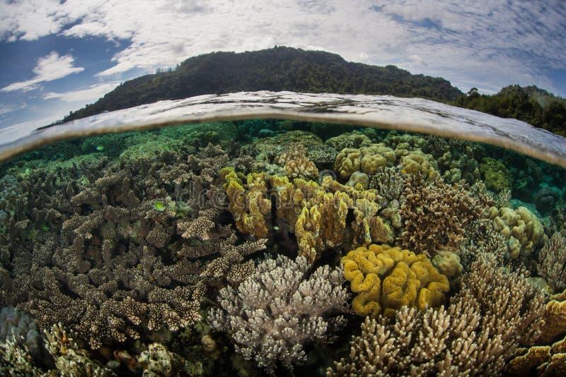 珊瑚在Shallows增长在安汶,印度尼西亚附近 免版税图库摄影