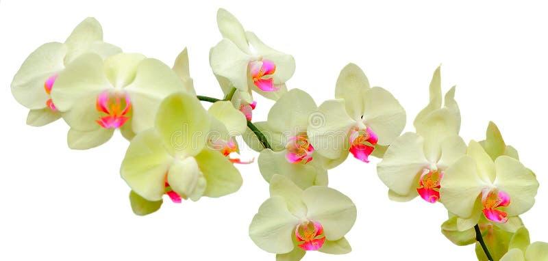 珊瑚小岛兰花植物 免版税库存照片