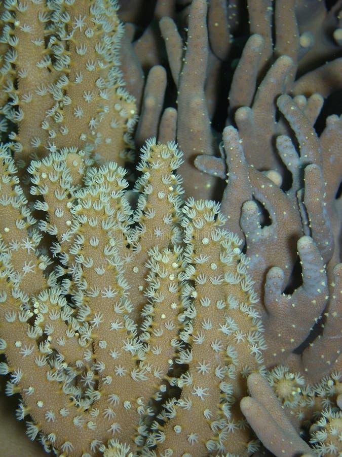 珊瑚手指 图库摄影