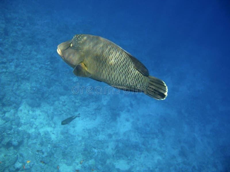 珊瑚拿破仑礁石濑鱼 免版税库存照片