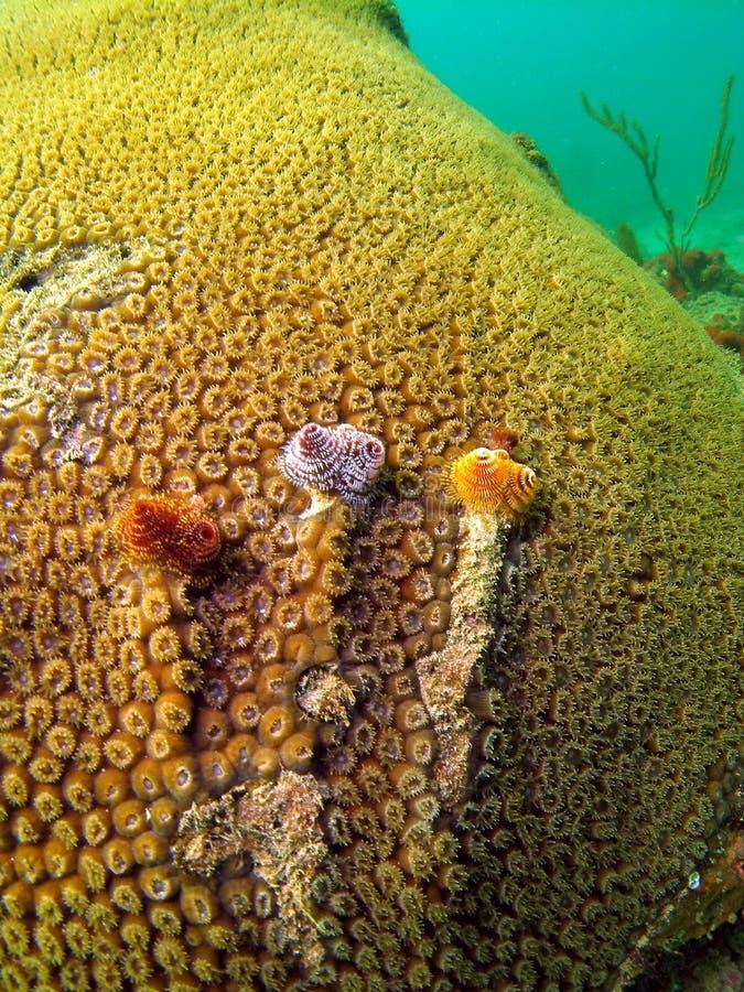 珊瑚星形 库存照片