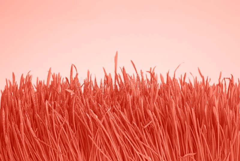 珊瑚桃红色与露珠的被定调子的新鲜的草 免版税库存图片