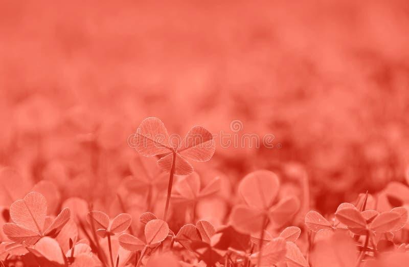 珊瑚桃红色被定调子的春天三叶草在草离开 库存照片