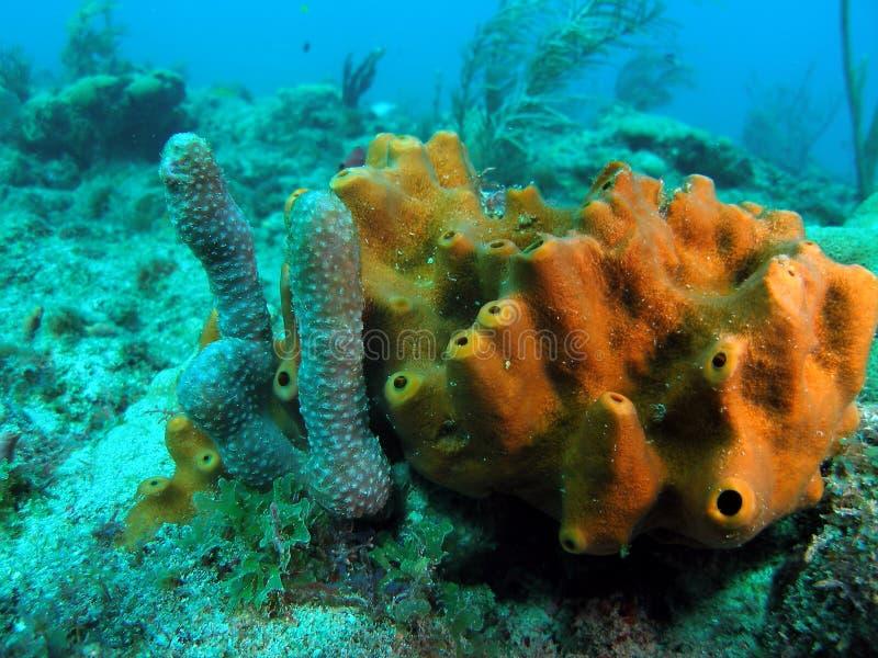 珊瑚海绵 图库摄影