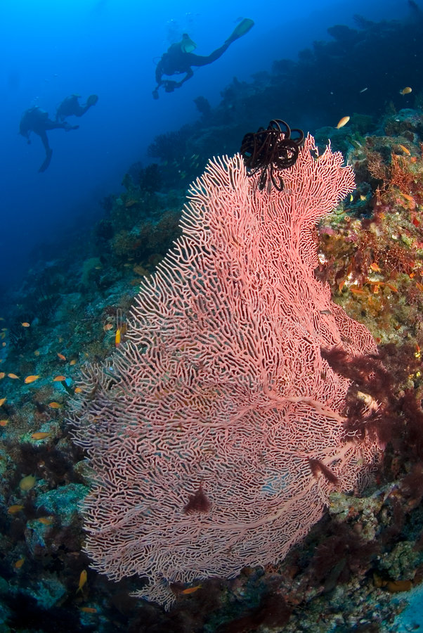 珊瑚潜水员gorgone 库存图片