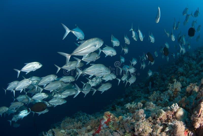 珊瑚生活潜水的苏丹苏丹 免版税库存照片