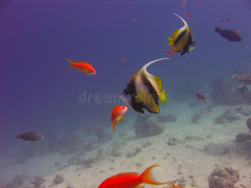 珊瑚的看法,红鳍淡水鱼蝙蝠鱼和Anthias在红海钓鱼 免版税库存图片
