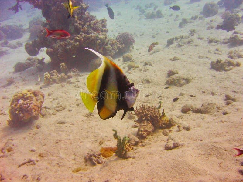 珊瑚的看法,红鳍淡水鱼蝙蝠鱼和Anthias在红海钓鱼 免版税库存照片