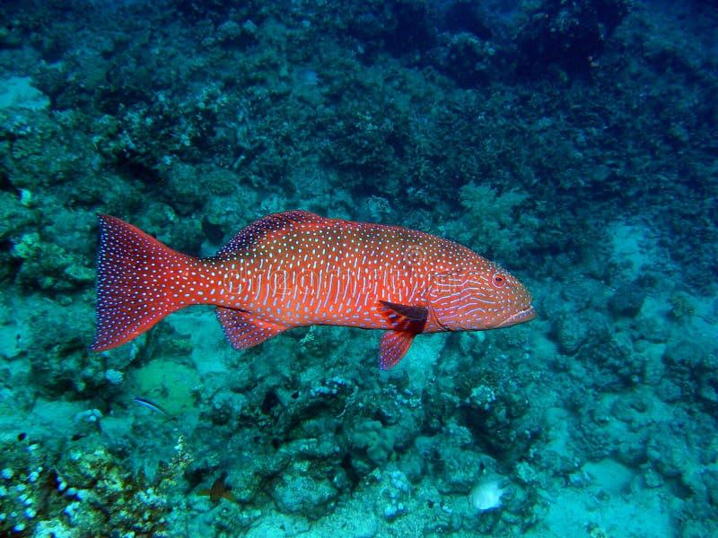 珊瑚石斑鱼红色 免版税库存图片