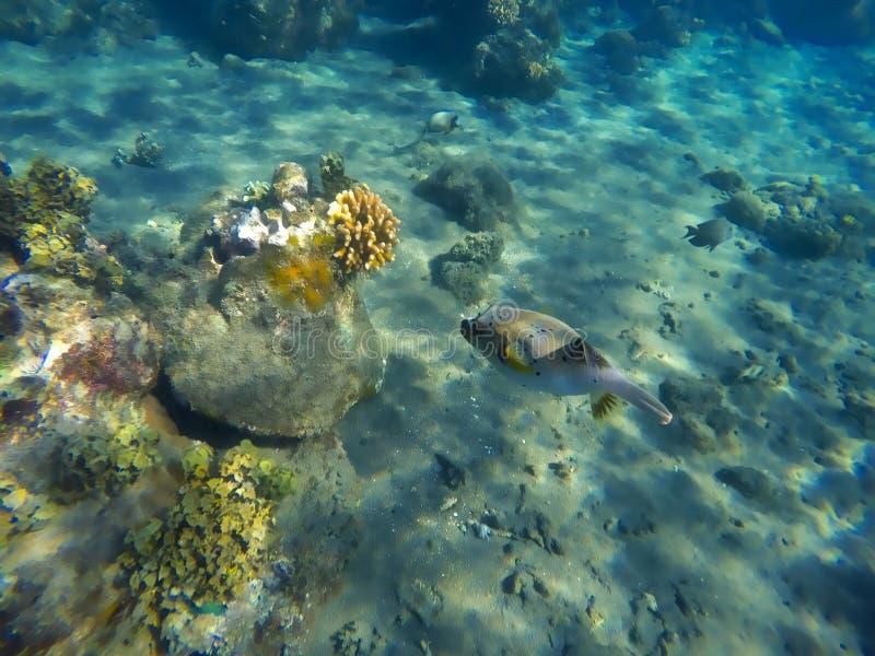 珊瑚礁和河豚,水下的风景,珊瑚礁鱼 免版税库存图片