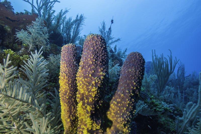珊瑚礁海绵 库存照片