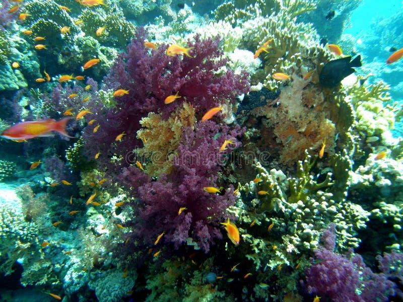 珊瑚礁红海潜水 库存照片