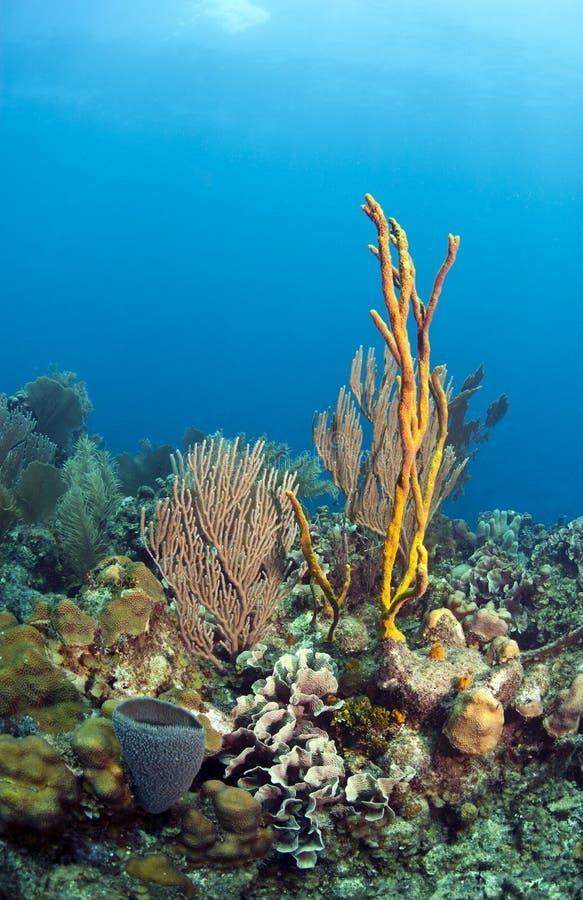 珊瑚礁黄色绳索海绵 库存图片