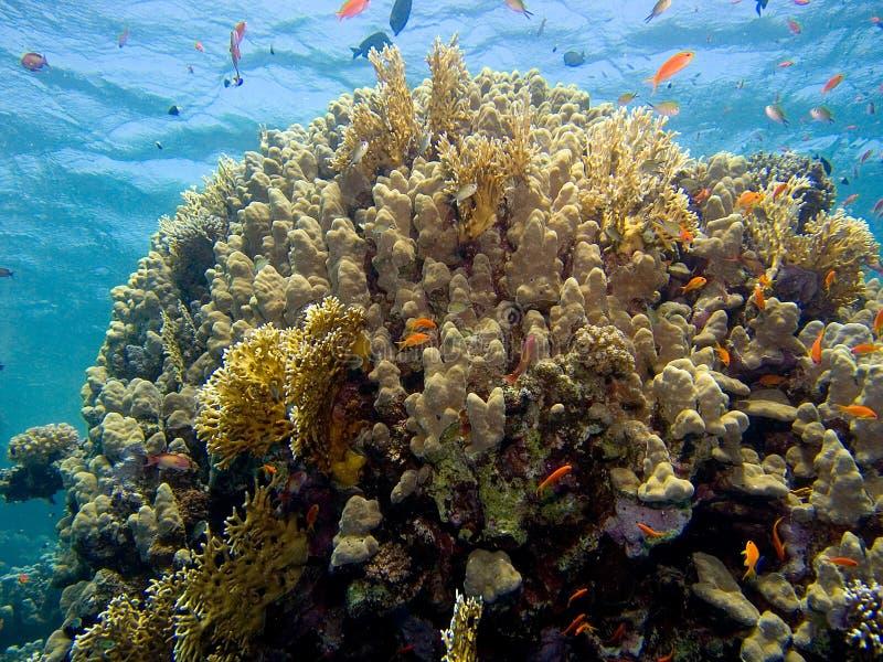 珊瑚红色场面海运 免版税库存照片