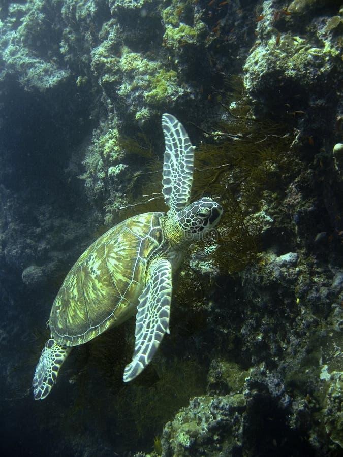 珊瑚绿色礁石海运sipadan乌龟 库存图片