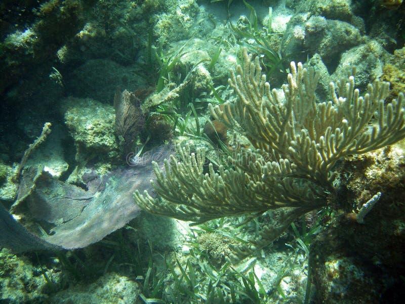 珊瑚花梢水中 免版税库存照片