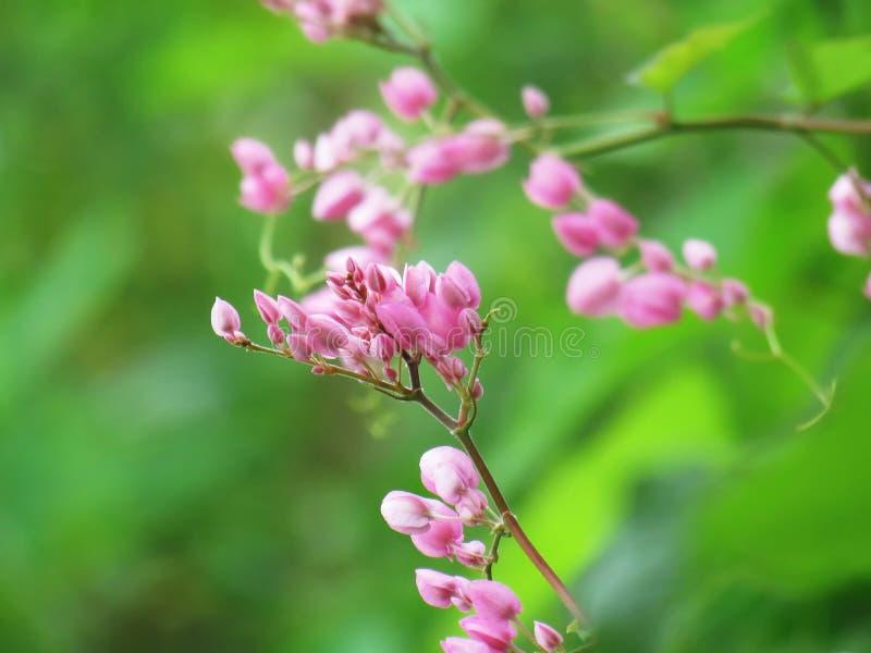 珊瑚藤,墨西哥爬行物,爱链子,同盟藤,在链子,桃红色花美丽的花束的心脏反对绿色的 免版税图库摄影