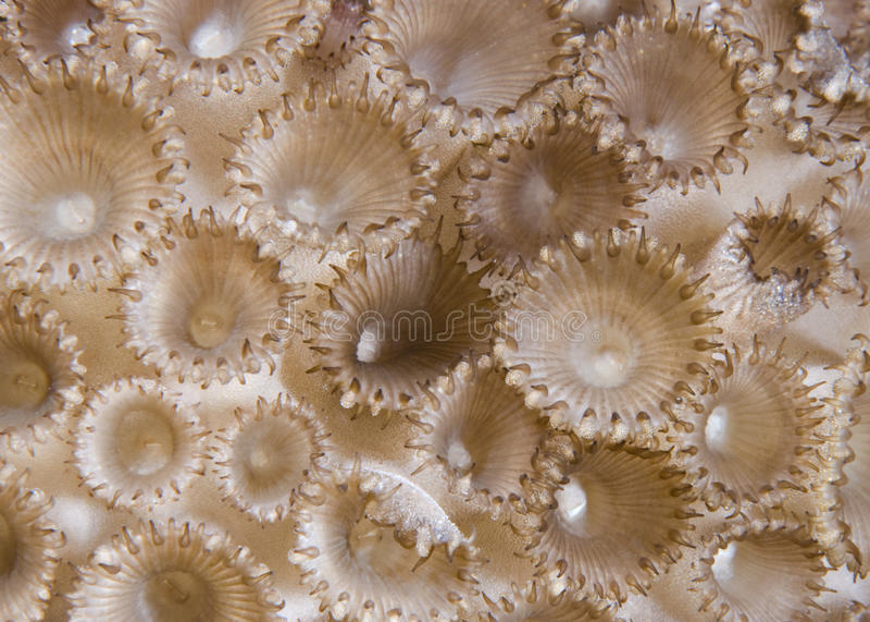 珊瑚详细资料palythoa橡胶tuberculosa 免版税库存图片
