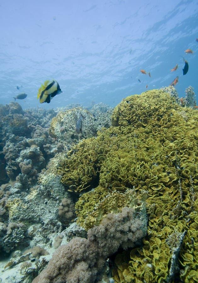 珊瑚钓鱼红海 库存图片