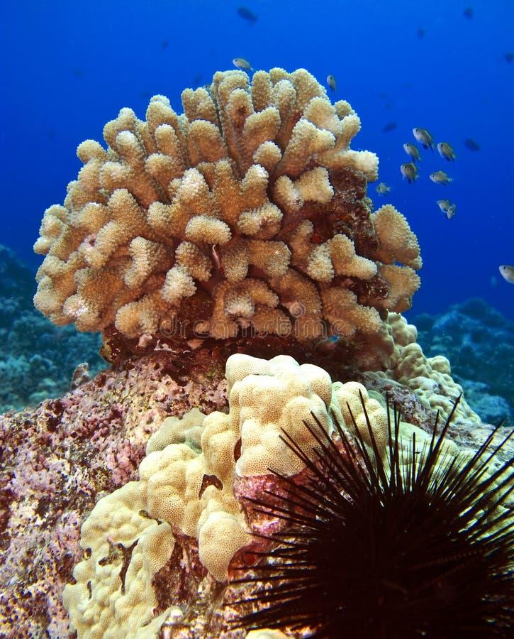 珊瑚顶头野孩子 库存图片