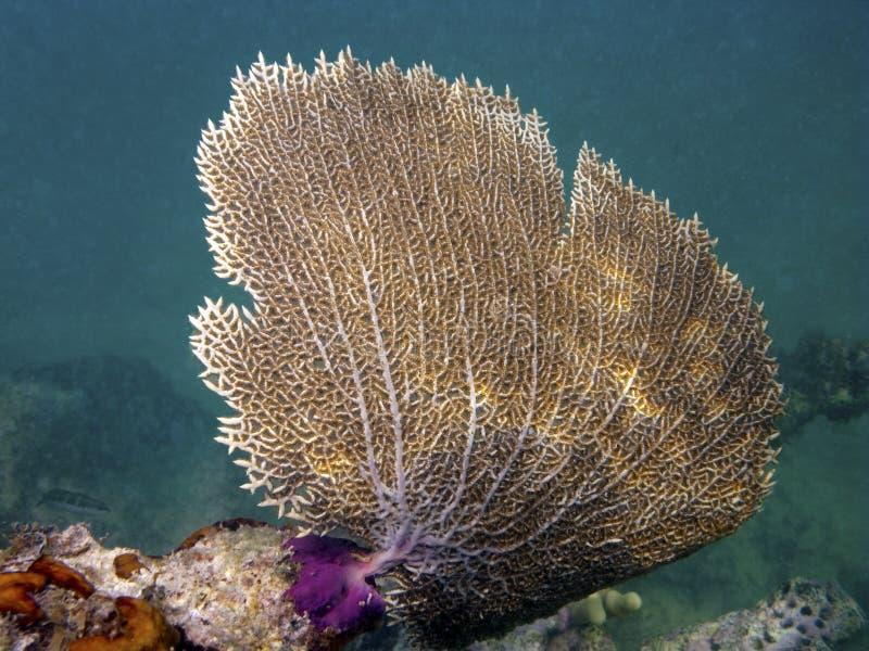 珊瑚风扇gorgonian海运 免版税图库摄影