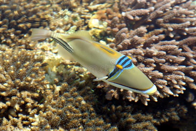 珊瑚鱼红海 图库摄影