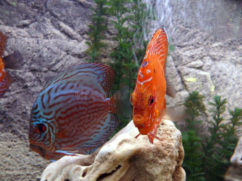 珊瑚鱼红色热带 免版税库存图片