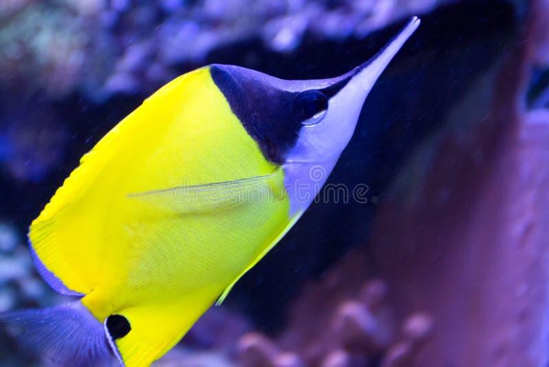 珊瑚鱼长的鼻子蝴蝶在热带海 免版税库存图片
