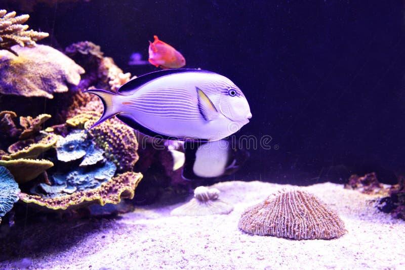 珊瑚鱼 库存图片