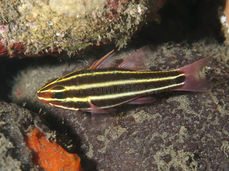 珊瑚鱼Blackstripe深红鱼 库存照片