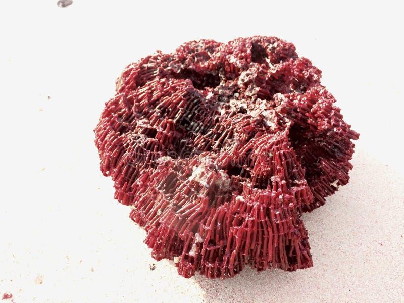 珊瑚 库存照片