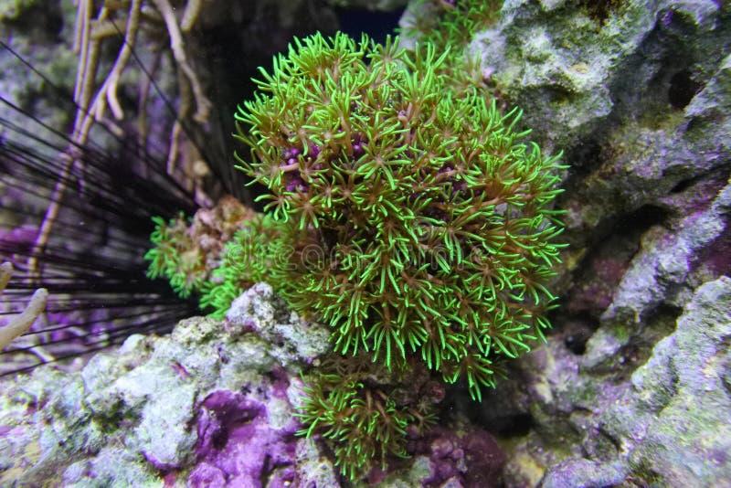 珊瑚Clavularia的viridis 免版税库存图片