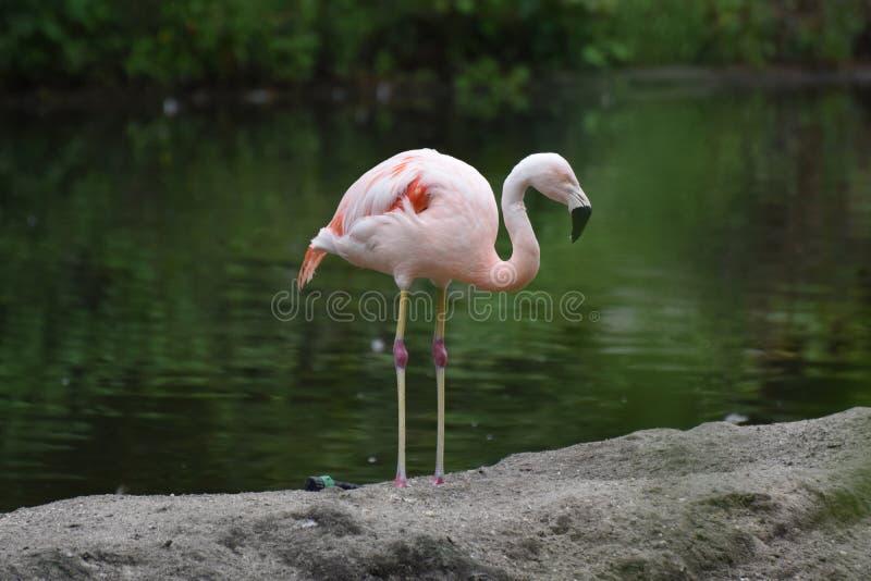 珍贵的桃红色智利火鸟在池塘 库存图片