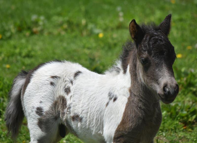 珍贵的美丽的白色和黑油漆微型马驹 免版税库存照片