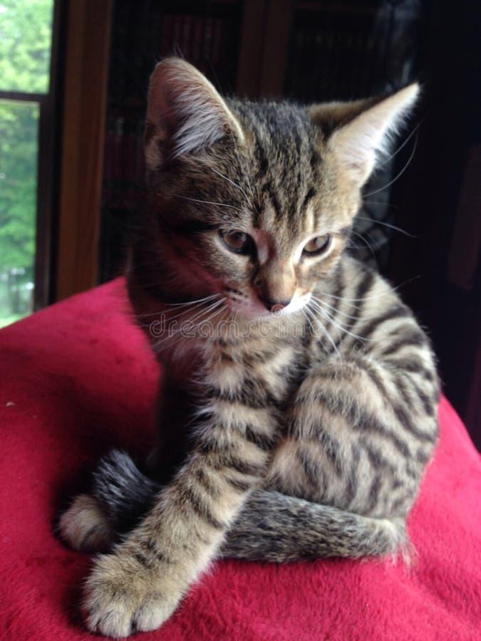 珍贵的小猫 免版税库存图片